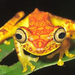 This leaf frog (Hypsiboas picturatus, Hylidae) was found in the cloud forest close to the Bilsa Biological Station (operated by the Jatun Sacha Foundation) within the Mache Cindul Reserve (Ecuador).  The reserve is part of the Choco. - Dieser Laubfrosch lebt im Nebelwald, der zur Biologischen Station Bilsa im Mache Chindul Reservat im Westen Ekuadors gehört. Das Reservat ist Teil der Choco Bioregion.