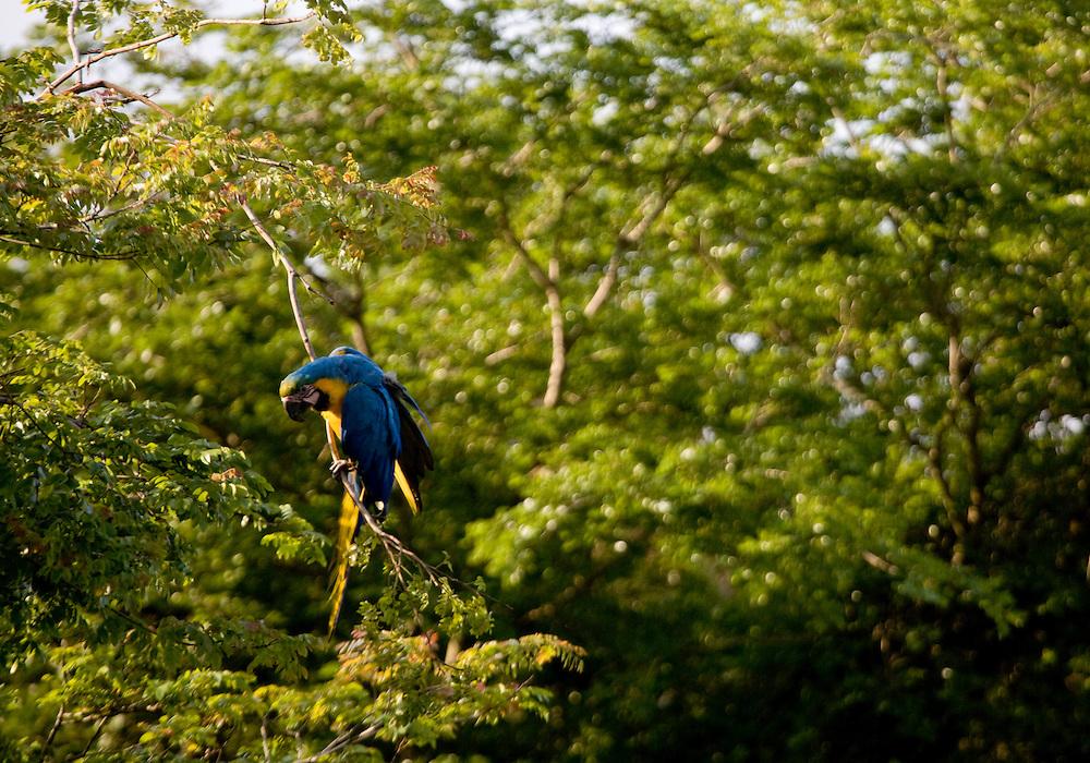 Nova Lima _ MG, Brasil...Arara-de-barriga-amarela (Ara ararauna) na Reserva Ecologica Mata dos Fechos...The Blue-and-yellow Macaw (Ara ararauna) in the Mata dos Fechos Natural Reserve...Foto: JOAO MARCOS ROSA /  NITRO