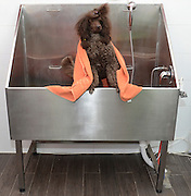 Pedigree Female Brown miniature poodle in the bath wrapped in towel