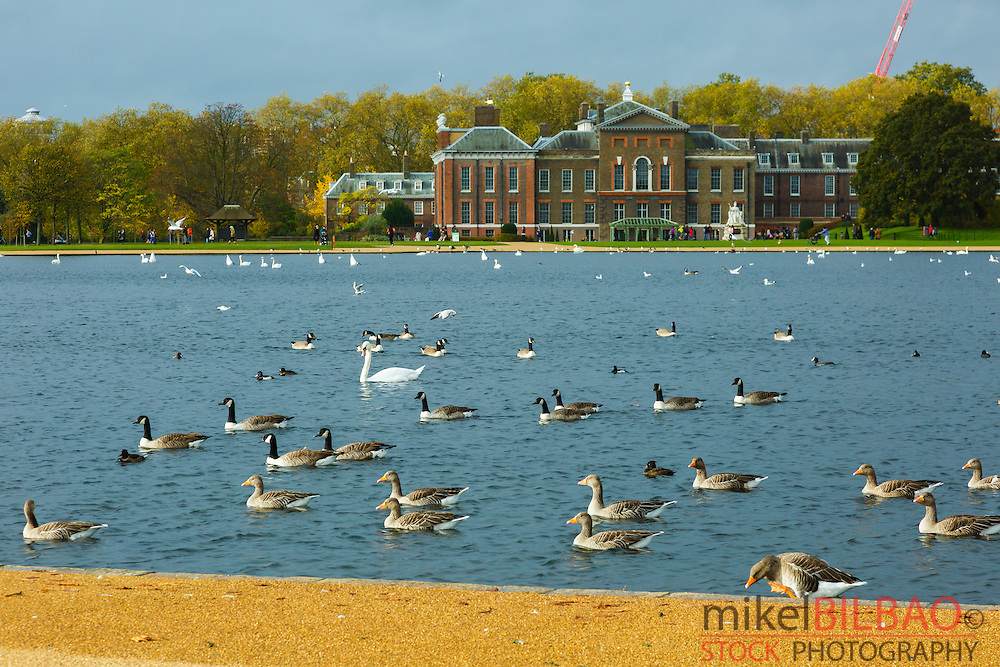 Water birds. Round Pond. Kensington Gardens. London, England, United kingdom, Europe.