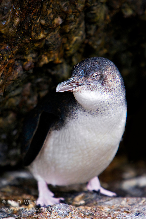 Little Penguin (Eudyptula minor) - Tasmania