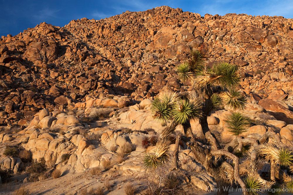 USA, California, Joshua Tree. Desert landscape of Joshua Tree.
