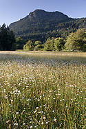 A field of English Daisies (Bellis perennis) on the former farmland in Burgoyne Bay Provincial Park. The English Daisy is an invasive species and is not native to the area. Mount Maxwell and Baynes Peak are in the background.  Photographed in Burgoyne Bay Provincial Park on Salt Spring Island, British Columbia, Canada.