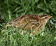 Quail Coturnix coturnix L 16-18cm. Tiny, secretive gamebird. Sexes are separable with care. Adult male has mainly brown, streaked plumage, palest and unmarked on belly. Head has dark stripes; pale throat has black centre and is defined by dark lines. Adult female is similar but has pale throat. Juvenile is similar to adult female. Voice Song is diagnostic, trisyllabic phrase, often rendered 'wet-my-lips'. Status Scarce migrant visitor whose numbers vary from year to year (100-1,000 calling birds). Arable farmland (especially barley) is favoured.