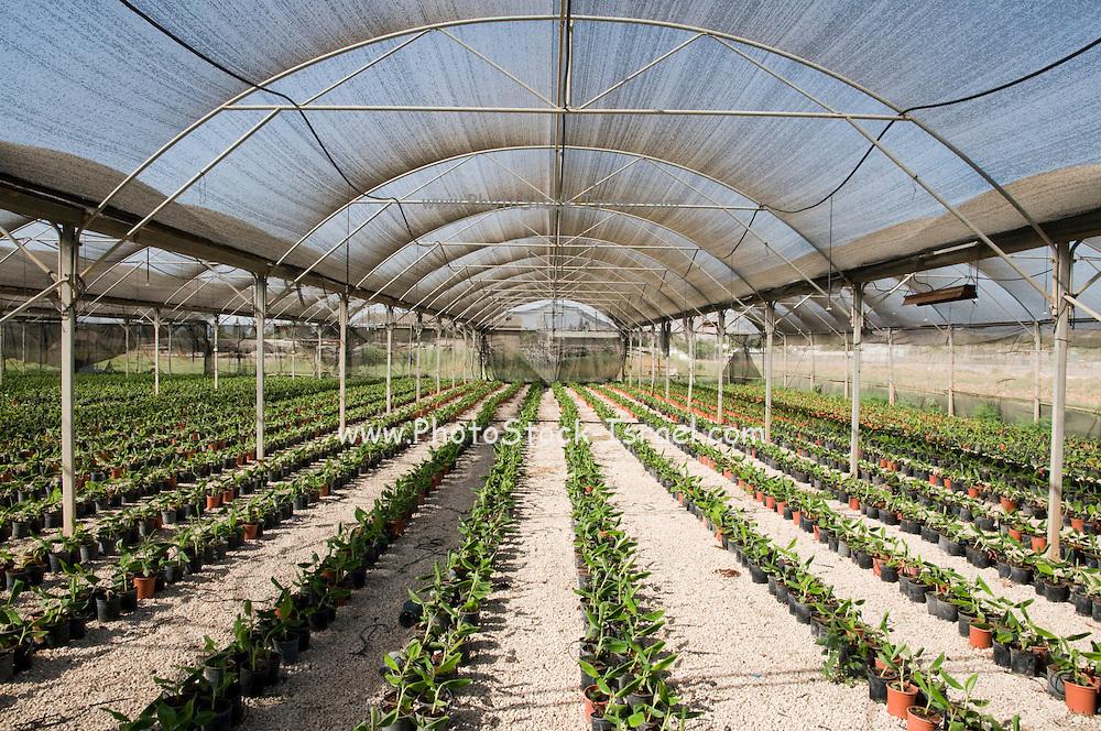 Israel, Jordan Valley, Kibbutz Ashdot Yaacov, A banana seedling nursery. Young banana plants are bred in this hothouse before transferring them to the plantation