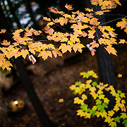 Orange and yellow maple leaves leaves in upstate New York during the Fall.