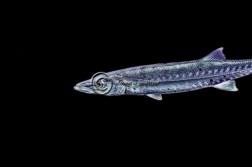 Great Barracuda, Sphyraena barracuda, (Edwards in Catesby, 1771), Lanai Hawaii