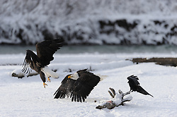 This photo is part of a sequence in which a bald eagle drags a salmon from the Chilkat River only to eat it in front of the eagle that it dragged it up to. In this image (tenth of the twelve image sequence) the first eagle on the log chases away the eagle that dragged the salmon up to the log. The photo was taken in the Alaska Chilkat Bald Eagle Preserve near Haines, Alaska. During the chase a raven moves in to nibble on the salmon.