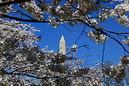 Cherry Blossoms Bloom in Washington