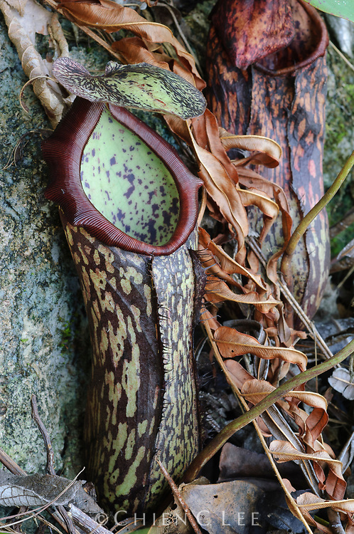 Nepenthes mapuluensis, a rare pitcher plant endemic to the limestone mountains of East Kalimantan, Indonesia.