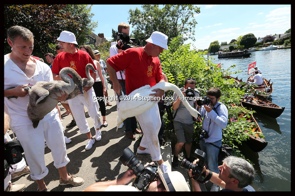Image licensed to i-Images Picture Agency. 14/07/2014. Shepperton, United Kingdom. Swans are put back in the water after being weighed and measured during the Swan Upping, the annual census of the swan population on the river Thames .Picture by Stephen Lock / i-Images