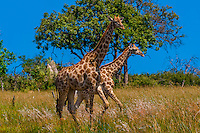 Giraffes on the move, Kwando Concession, Linyanti Marshes, Botswana.
