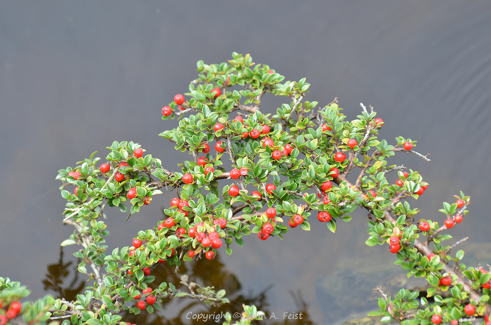 This branch of currents is growing out over the River Erne outside the Belleek factory in County Mayo, Northern Ireland.
