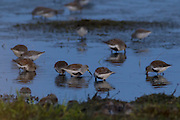 A group of Dunlin (Calidris alpina), displaying breeding plumage, feed at high tide in the Bowerman Basin, located in the Grays Harbor National Wildlife Refuge in Washington state. More than 30,000 shorebirds pass through the refuge each spring on their way to breeding grounds in the far North.