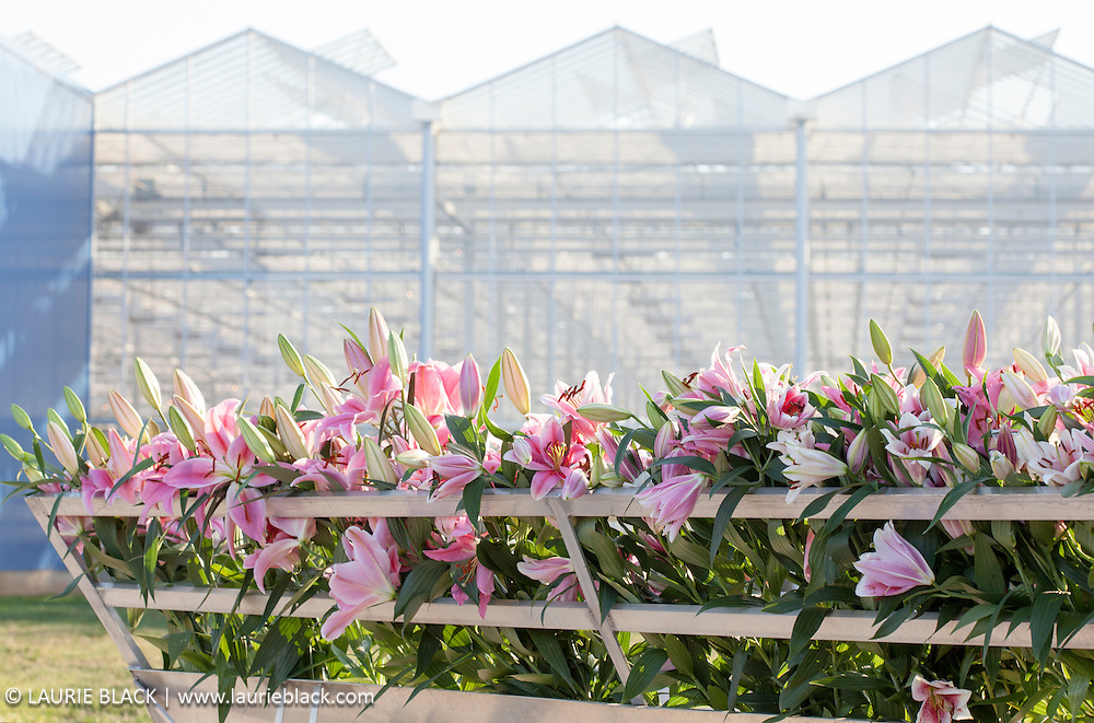 Lilies on display in front of a greenhouse