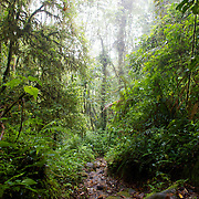 The Ngobe Indian trail in the Cloud Forest near Boquete, Panama.  The trail is still used by the indigenous Panamanians to get from the province of Bocas del Toro to Boquete.