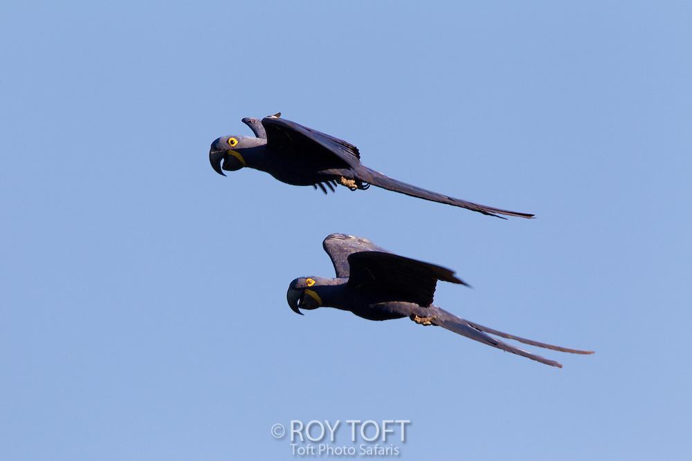 Hyacinth Macaw (Anodorhynchus hyacinthinus), Piaui, Brazil