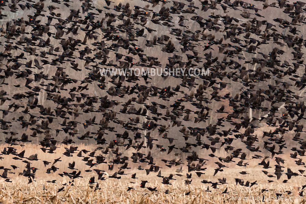 Middletown, New York - A flock of birds in a farm field on March 3, 2017.