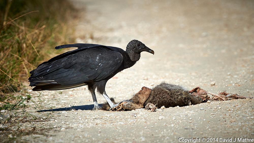 Black Vulture feeding on a road-killed mammal. Biolab Road, Merritt Island National Wildlife Refuge. Image taken with a Nikon D4 camera and 500 mm f/4 VR lens (ISO 360, 500 mm, f/8, 1/2000 sec).