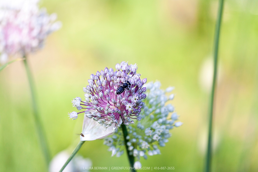 Bees on garlic flowers