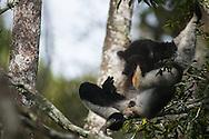 Indri , 大狐猴, インドリ, إندري شائع
