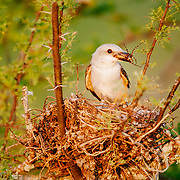Scissor-tailed flycatcher bringing a spider back to the nest.