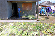 Drying palm fronds for a new thatched roof in La Bajada, Pinar del Rio, Cuba.