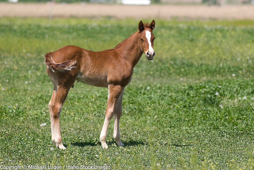 Domestic horses and colts near Weiser, Idaho.