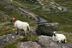 July 21, 2019 - View Of Healy Pass With Sheep, County Cork, Ireland (Credit Image: © Peter Zoeller/Design Pics via ZUMA Wire)