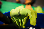 Gloves with the silhouette of a woman planter are used as nurses and doctors of Kaiser Permanente Pediatric plant various vegetables outside their main entrance to promote healthy eating at Kaiser Permanente Pediatric in Milpitas, California, on March 24, 2014. (Stan Olszewski/SOSKIphoto)