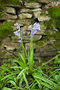 English Bluebells, Hyacinthoides non-scripta, by drystone wall in Swinbrook in the Cotswolds, Oxfordshire, UK