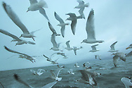 Seagulls swoop expectantly at first-light by the My Amber as it fishes for prawns off Scotland's west coast in a marine 'box' in the inner sound of Rona which restricts entry to large trawlers looking for white fish and allows around 16 creelers unrestricted fishing..