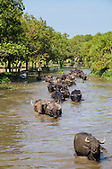 Herd of domestic water buffalo (Bubalus bubalis) in the Moyingyi Wetland Wildlife Sanctuary in Southern Bago, Myanmar.