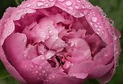 Peony in the Rain