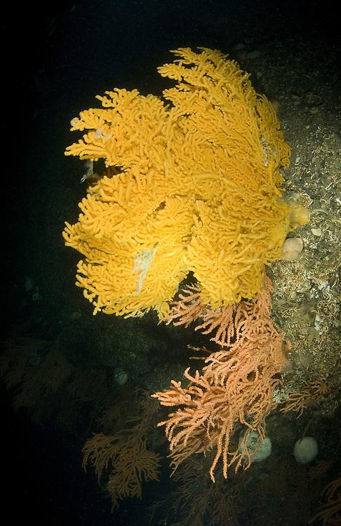 Red tree coral (Primnoa resedaeformis) and Sea Fan (Paramuricea placomus). Location : Trondheimsfjorden, Norway