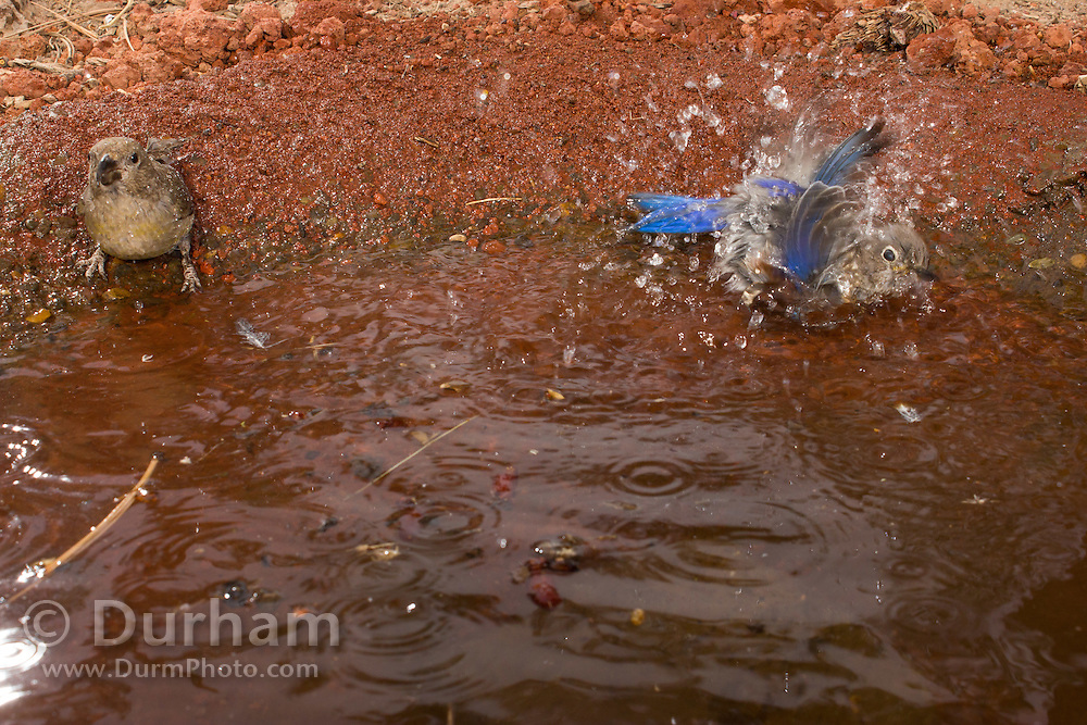 red crossbills (Loxia curvirostra) with a mountain bluebird (Sialia currucoides) at a desert watering hole in central Oregon.