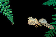 Spanworm moth (Family: Geometridae, probably Erannis tiliaria) flying at night, Willamette National Forest, Oregon. Summer 2001