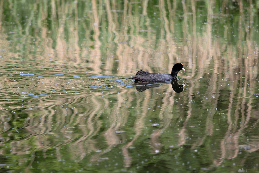 A coot crosses a pond at the London Wetland Centre, Barnes