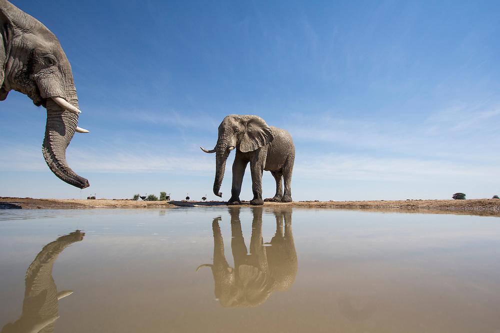 Africa, Botswana, Nxai Pan National Park, Remote camera view of Bull Elephants (Loxodonta africanus) drinking at water hole in Kalahari Desert