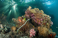 Sunbeams filter through healthy Mangroves on healthy Soft Corals and Sponges, while a Diver takes it all in.<br /> <br /> Shot in Indonesia