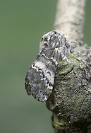 Lunar Marbled Brown - Drymonia ruficornis
