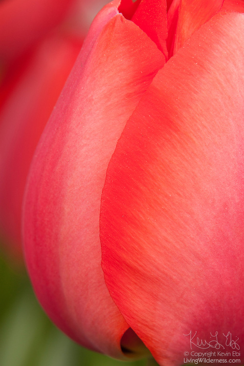 A close-up image reveals the delicate texture of a red tulip blooming in a garden at Roozengaarde, one of the major tulip growers in the Skagit Valley of Washington state. Each year, more than a million people visit the area near Mount Vernon to check out 300 acres of cultivated tulips.