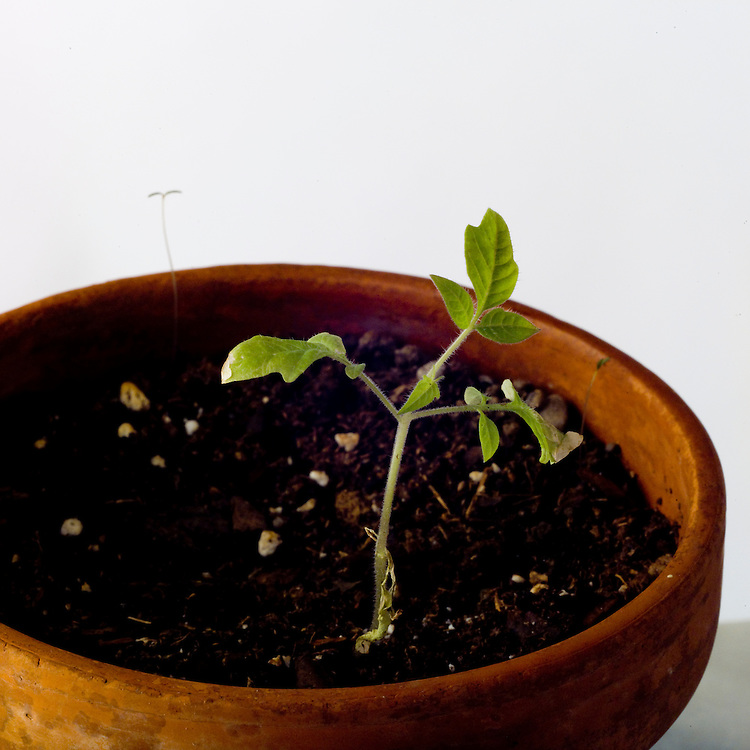 Vegetative reproduction, healthy tomato seed, plant growth