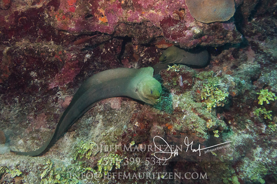 Two Green moray eels rest near the coral reef in Belize.