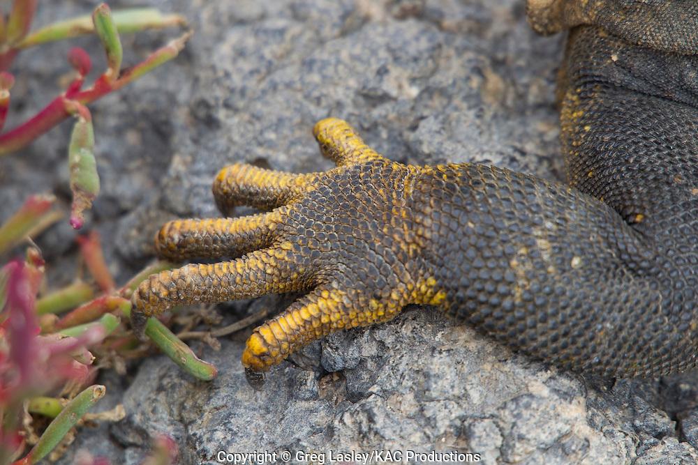 Land Iguana.Conolophus subcristatus.close up detail of foot.Plazas Island,.Galapagos Islands,.Ecuador.19 August 2010