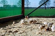 Nederland, St. Anthonis, 6-2-2007..De kippen van deze kippenboer hebben een overdekte ren waardoor zij altijd naar buiten kunnen. Deze kip, de Hubbart, wordt gehouden als vleeskip en als tussenstap tussen de biologische kip en de bio industrie kip.Zij kunnen naar buiten en krijgen langer de tijd om te groeien. Hij wordt verkocht in de supermarkt als de Volwaardkip. Het idee wordt ondersteund door de dierenbescherming. ..Foto: Flip Franssen/Hollandse Hoogte