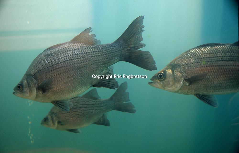 White Bass<br /> <br /> ENGBRETSON UNDERWATER PHOTO