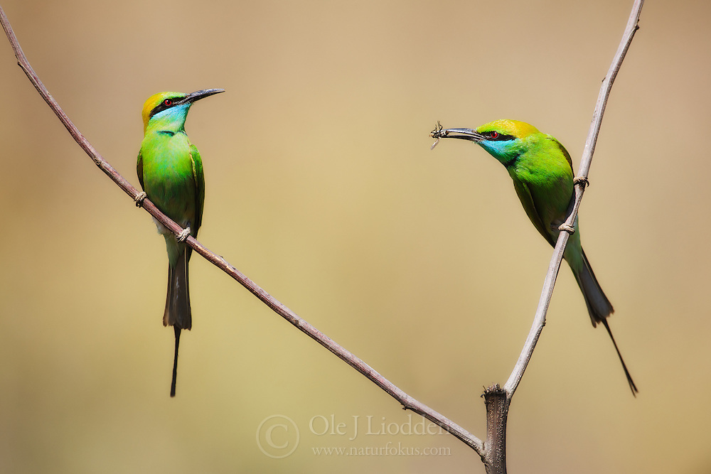 Green Bee-eater (Merops Orientails) pair with food, Kanha National Park, India