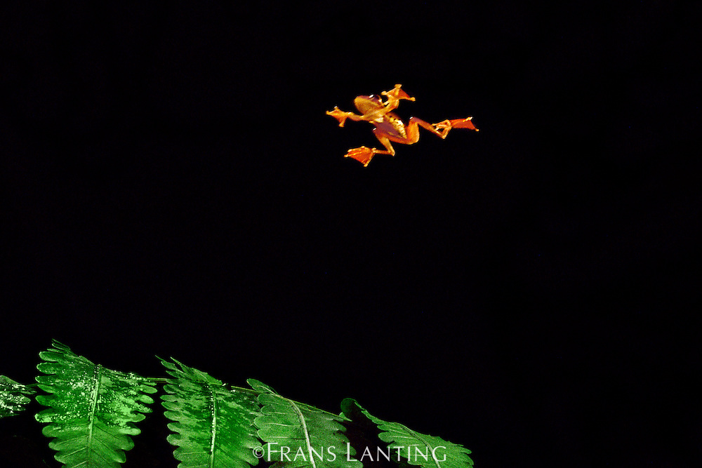 Borneo red flying frog gliding, Rhacophorus pardalis, Sabah, Borneo