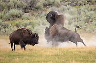 During the summer bison rut, these two large bulls began battling in a meadow, with most of the herd scattering to get out of their way. As I watched them intently, the larger of the bulls seemed to lose his balance and was tossed into the air by his rival. Amazingly, the bull regained his footing and attacked his opponent aggressively, quickly overpowering him. The smaller bull was caught off guard and quickly retreated into the herd.